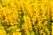 A Bright Yellow Loosestrife Flowers In The Garden