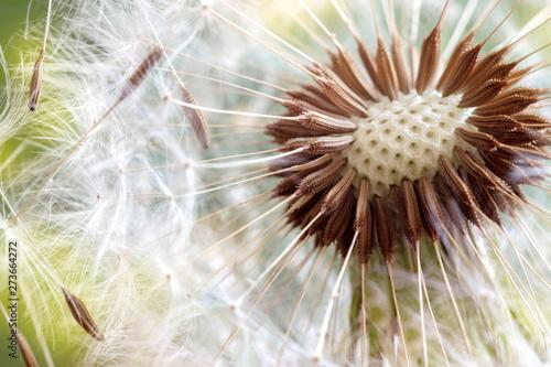 Fotografie, Obraz  Dandelion seeds close up