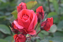 Single Large Red Rose With Pink Petals And Dark Green Leaves In A Dark Background -02