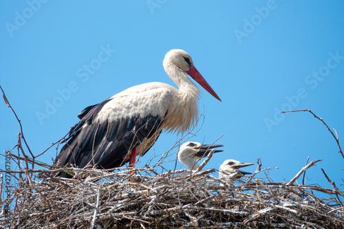 Obraz na plátně family of white storks in the nest