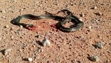 Death Of Ring Necked Snake On ...
