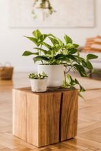 Close Up Of Stylish Brown Wooden Square With Beautiful Plants In White Pots At Modern Interior Of Living Room With Design Furnitures And Accessories. Bright And Sunny Home Space. Home Decor. Template