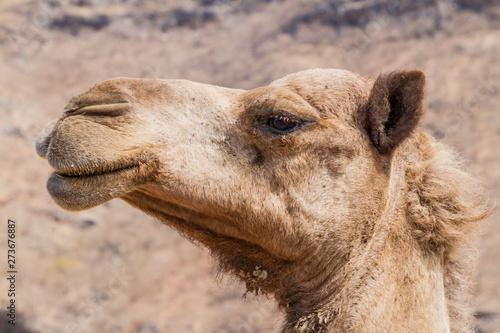 Spoed Foto op Canvas Kameel Detail of a camel at Wadi Dharbat near Salalah, Oman