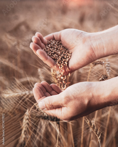 Photo  man pours wheat in hand to hand on the background of wheat field