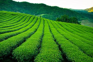 Fototapeta Do herbaciarni tea plantation Taiwan Oolong