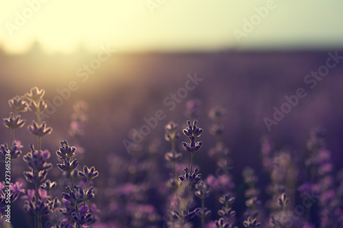 Aluminium Prints Light pink Lavender bushes closeup on sunset. Sunset gleam over purple flowers of lavender