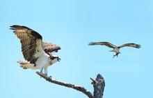 Osprey Landing On Dead Tree Wi...