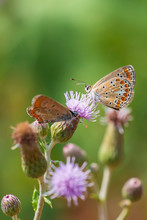 Brown Hairstreak Butterfly Mating