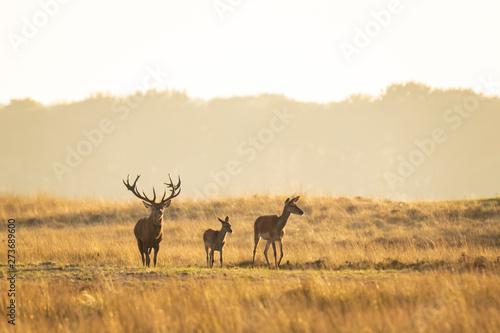 Poster Cerf Herd of red deer cervus elaphus rutting and roaring during sunset