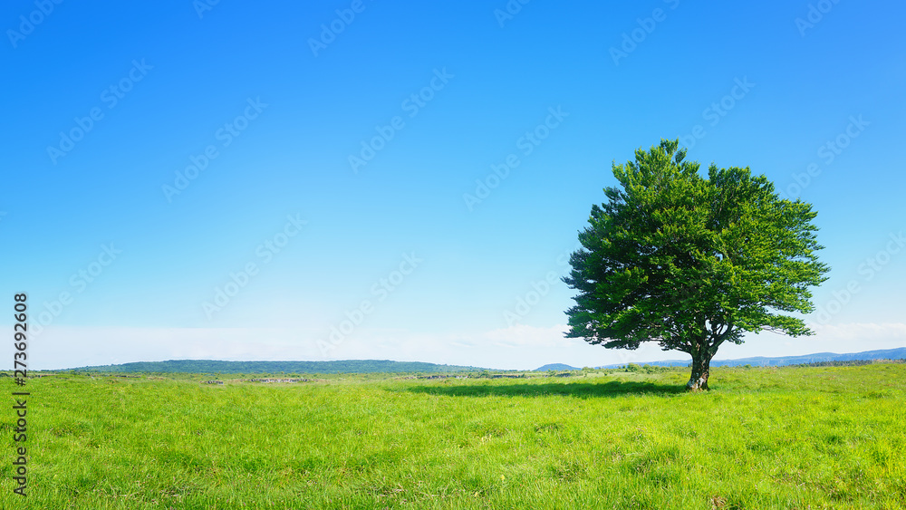 Fototapety, obrazy: lonely tree against clear blue sky