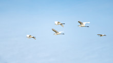 A Flock Of Great Egret Flying With Blue Sky.