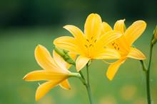 Daylily & Hemerocallis Middendorffii - ニッコウキスゲたち