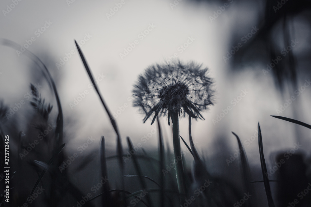 Fototapety, obrazy: fluffy ripe white dandelion growing in the grass on a blurred bokeh background close-up. copy space macro