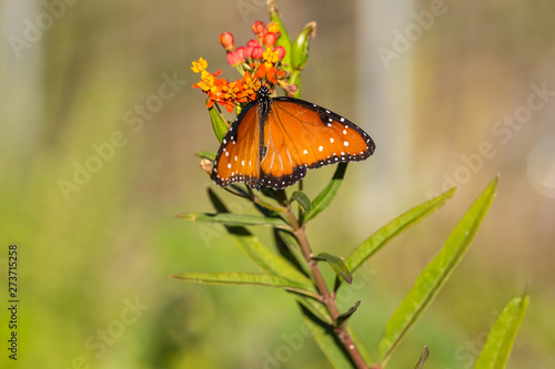 Milkweed being used by Monarch Butterfly on its southern migration through Central Texas to Mexico.