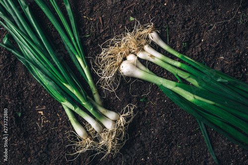 Spring onion or scallion on garden ground, top view