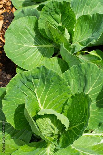Fototapety, obrazy: Cabbage