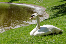 Swan Mouth Rest On The Shore O...