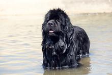 Newfoundland Dog Portraits In ...