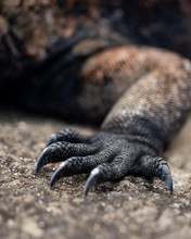 Iguana Details - Claw