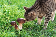 The Cat Walks On The Green Grass And Sniffs Edible Mushrooms