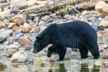 Black Bear (Ursus Americanus) On The Lake Shore In British Columbia, Canada