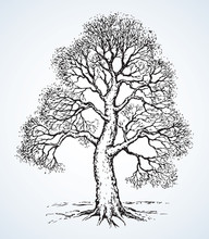 Tall Oak In Winter. Vector Drawing