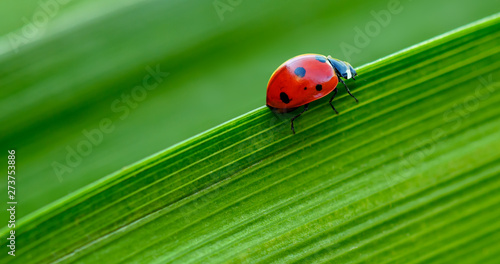 Obraz na plátne Macro Ladybug on green leaf