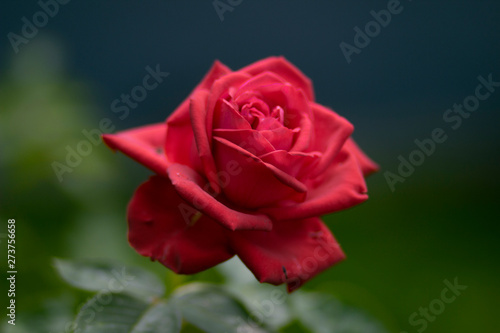 Big beautiful red fragrant rose in a vase - a flower for birthday