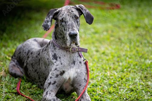 Fototapeta Gray Spotted Great Dane Dog obraz