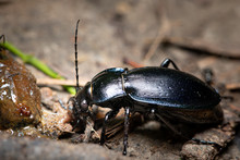 A Violet Ground Beetle Eating ...