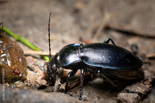 Photo A violet ground beetle eating a slug