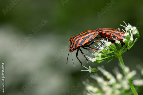 Two Striped bugs sitting on a white flower Canvas Print