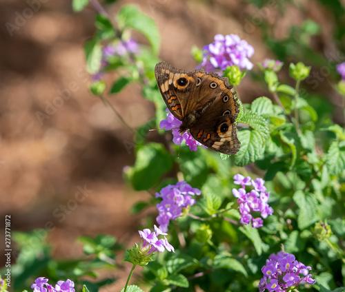 Buckeye butterfly on a purple flower