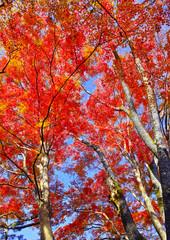 Panel Szklany Drzewa 紅葉シーズン京都、紅葉の森を見上げる
