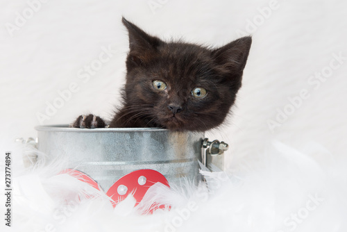 Black Domestic short hair cat