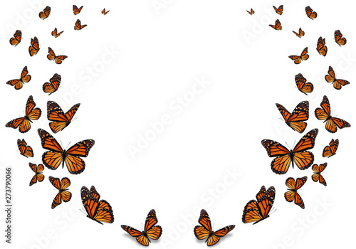 Fototapeta Beautiful monarch butterfly isolated on white background.