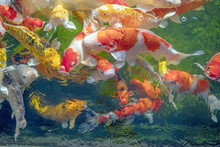 Many Koi Fish Swim In The Pond...