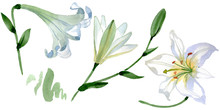 White Lily Floral Botanical Flowers. Watercolor Background Illustration Set. Isolated Lilies Illustration Element.