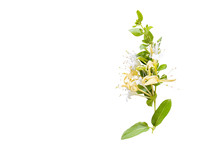 Lonicera Japonica, Known As Japanese Honeysuckle And Golden-and-silver Honeysuckle Isolated On A White Background.space For Your Text
