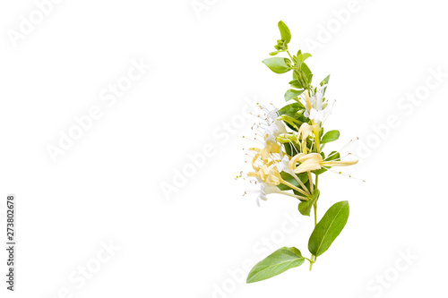 obraz lub plakat Lonicera japonica, known as Japanese honeysuckle and golden-and-silver honeysuckle isolated on a white background.space for your text