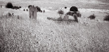 Tombstones In A Graveyard Overgrown By Long Grass Sit Forgotten On A Lonely Hillside. Black And White Image.
