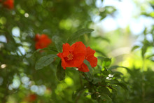 Flowering Pomegranate Tree. Po...
