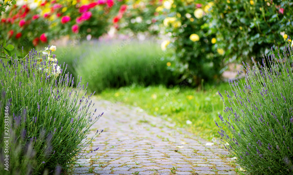 Fototapety, obrazy: Alley in the garden with lavender and blooming roses.