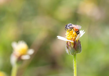 The Bees Find Food On The Yellow Flowers.