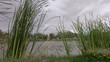 Reeds on a lake, stormy day