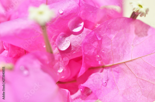 Foto auf Gartenposter Rosa Macro photo of bougainvillea flower background. - Image