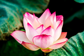 Panel Szklany Orientalny Pink lotus flower in pond, Chiangmai province Thailand