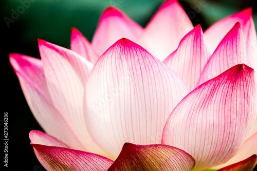 Foto auf AluDibond Lotosblume Pink lotus flower in pond, Chiangmai province Thailand