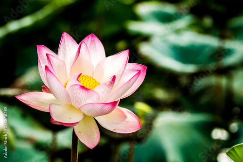 Montage in der Fensternische Lotosblume Pink lotus flower in pond, Chiangmai province Thailand