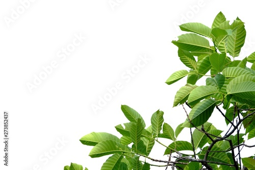 Fotografia  Tropical tree leaves top view on white isolated background for green foliage bac